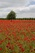 Red Poppies - April 9, 20017