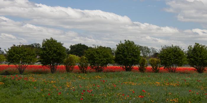 Texas Wildflowers – Apr, 2015